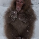 Cute Snow Monkeys