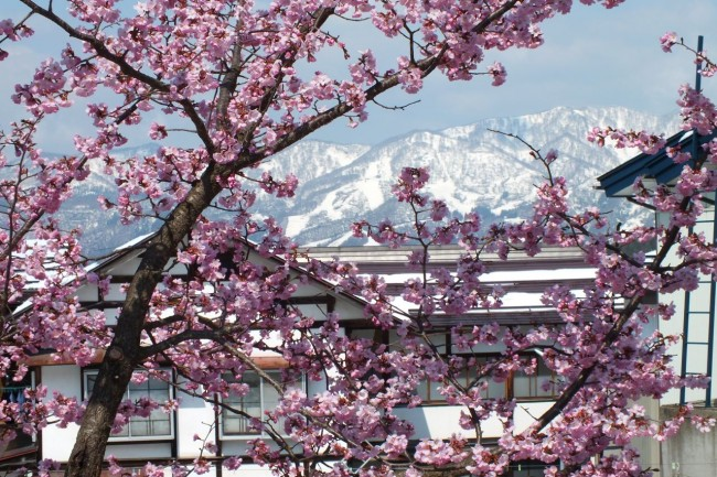 Pretty amazing to be in Nozawa when you can see some Cherry Blossoms and still get a few turns in on the slopes.