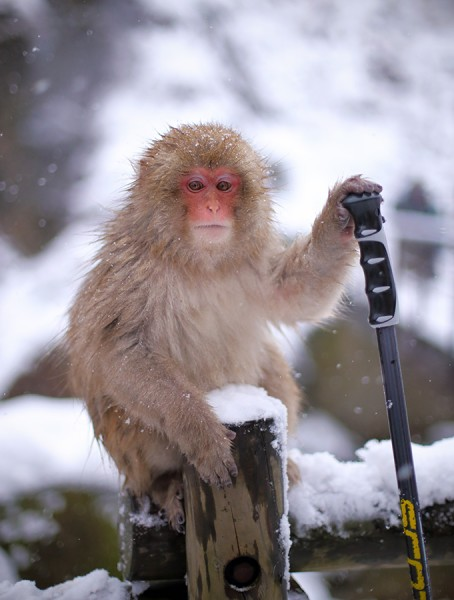 Snow Monkey observational behaviour - Nozawa snow monkeys