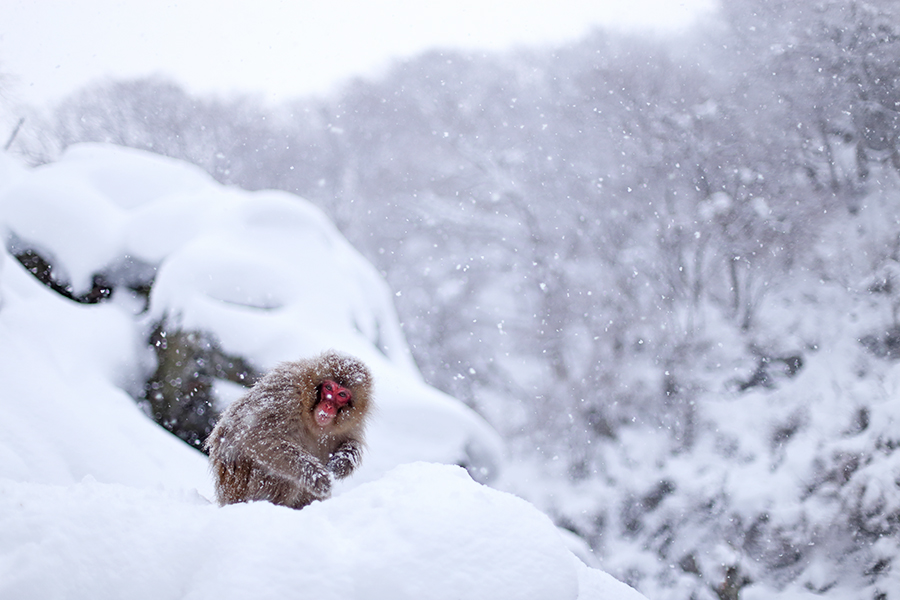 snow monkey feeding