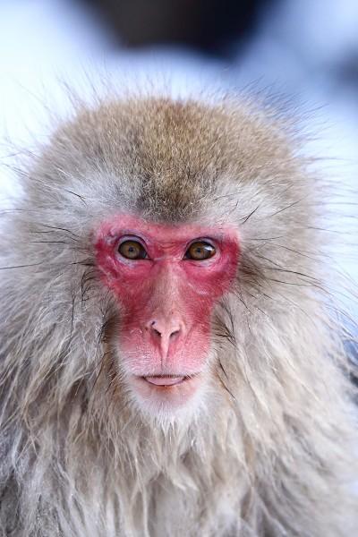 Snow monkey.