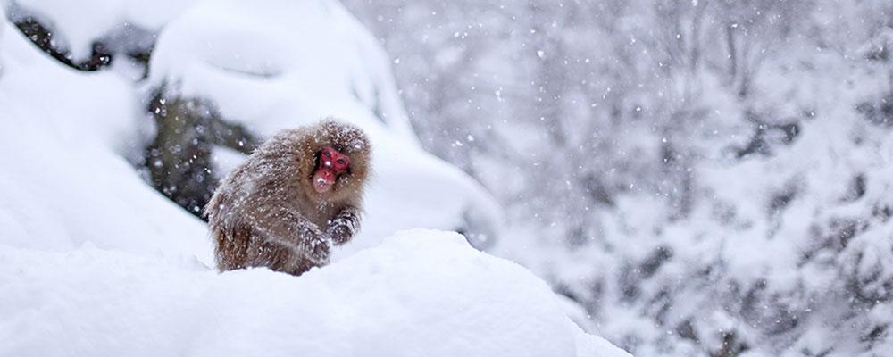 https://www.nozawaholidays.com/wp-content/uploads/2014/11/snow-monkey-banner.jpg