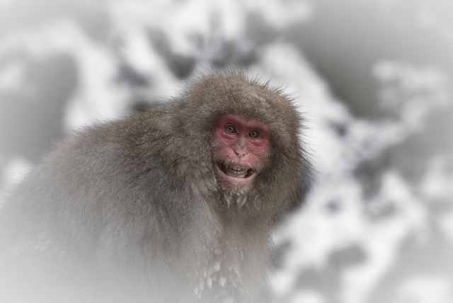 The famous Snow Monkeys a short trip from Nozawa Onsen they are almost human like in many ways. Photo by David Larcombe