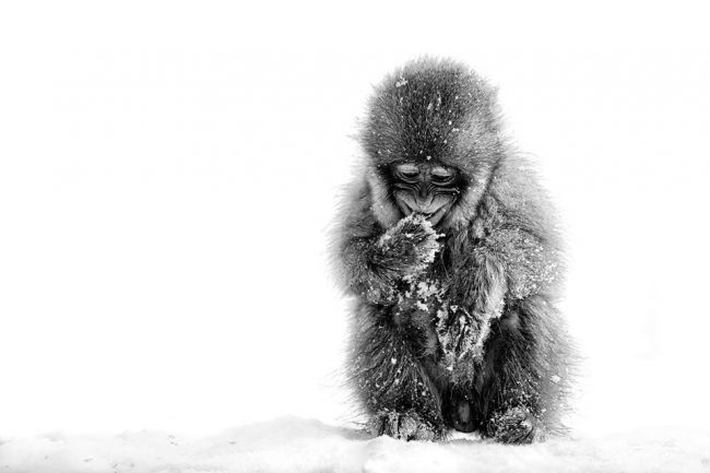 The famous Snow Monkeys are only a short drive from Nozawa Onsen and we do tours!