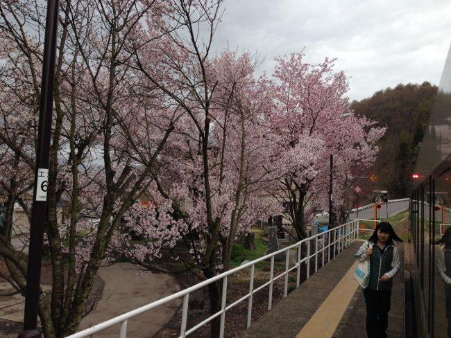 Cherry Blossoms Spring Ski Nozawa