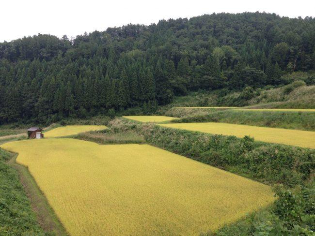 Ride Rice paddies