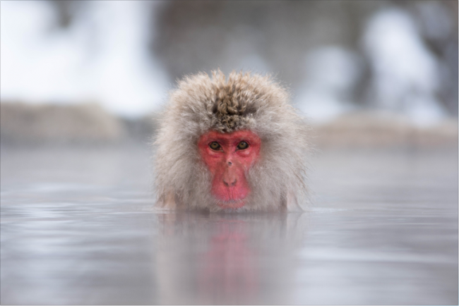 Japanese Snow monkey enjoying a relaxing morning in the hot bath