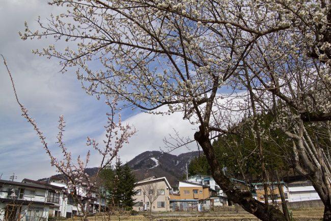 Cherry Blossoms Nozawa