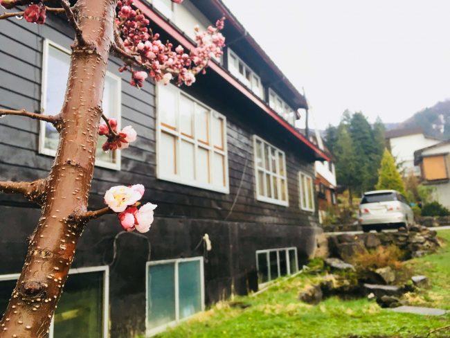 Nozawa Spring, Skiing and Sakura