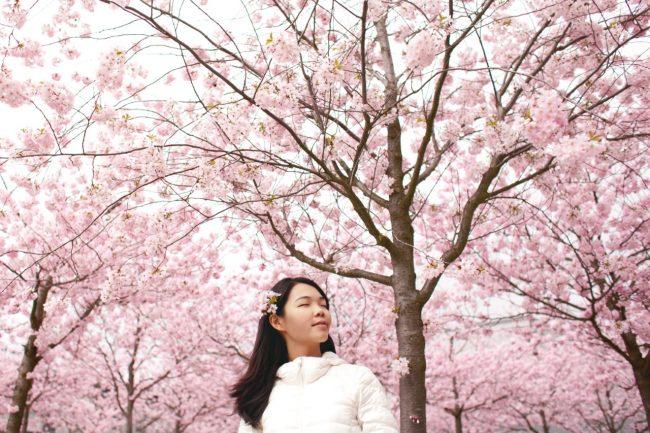 Ski Cherry Blossom Japan