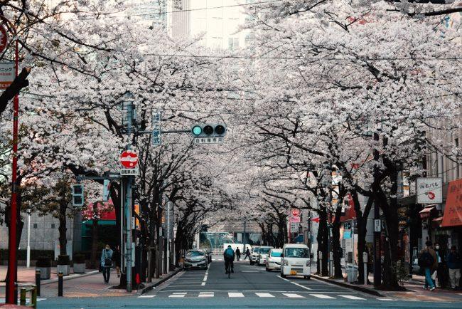 Cherry Blossoms Nozawa 2020