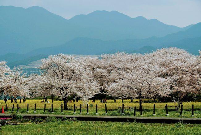 Cherry Blossoms Nozawa Onsen