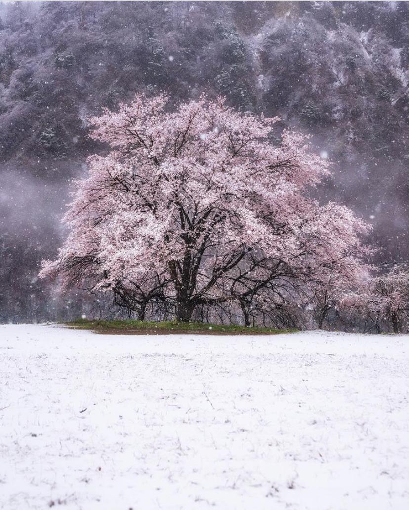 Tokyo Snow Cherry Blossoms